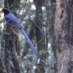 The Beautiful Red-Billed Blue Magpie