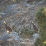 Gorals alarmed by a hidden predator (Leopard was seen in the same place two days later).