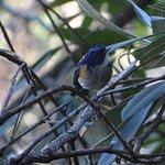 Himalayan Bluetail male outside my cottage