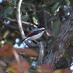 Himalayan Shrike Babbler male