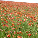 Poppy field nearby in July