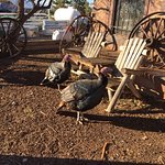 Turkeys hanging out