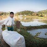Burmese boy helping his parents plant rice