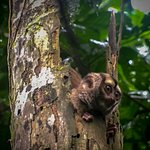 Nocturnal monkey during jungle trek.