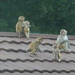 Some of the macaques arriving from the jungle around dusk.
