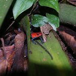Strawberry poison-dart frog on the grounds