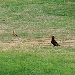Hornbill and Hoopoe in St Lucia town
