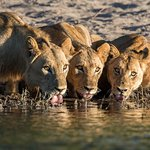 Lions drinking from the Chobe River