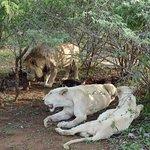 White lionesses