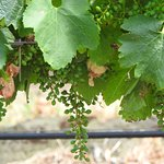 The grapes just starting to develop (Yarra Valley)