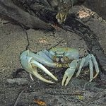 Crab the size of a football!