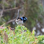 Superb Fairy Wren in the garden