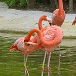 American Pink Flamingos in their enclosure at Mayan Palace Riviera Maya