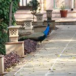 A peacock crosses a path at The Bagh