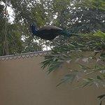 A peacock on the garden wall