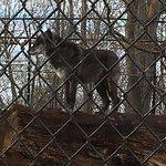 Seneca Park Zoo - gray timber wolf