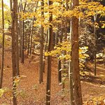 Fall Foliage in the Woods near the Belvedere Inn 11/2016