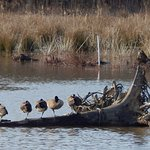 Sun bathing resting geese