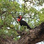 Ground Hornbill on the tree