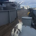 "My pet rabbit ""Narvik"" relaxes on USS MASSACHUSETTS (BB59)....."