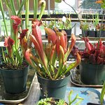 American Pitcher Plants