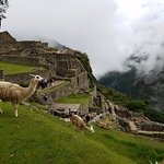 Llamas hanging out on the terraces