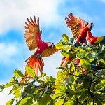 Scarlet Macaws in Walnut Trees