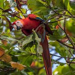 Scarlet Macaws in Walnut Trees