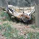 Tiger in a hammock