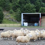 Local sheep farm