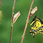 Le fasi del passaggio da crisalide a farfalla che potrete osservare nella casa delle farfalle