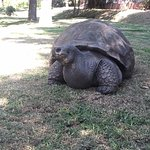 The hotel giant tortoise
