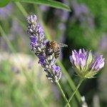 Der Lavendel blüht im organisch bewirtschafteten Garten