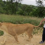 Wildthingz - Walk with the Lions - and no, these animals are NOT drugged or abused. Amazing !