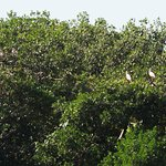 Roseate spoonbills at Paurotis Pond!!