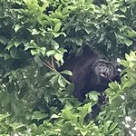 Howler Monkey- Finca Los Monos Botanical Gardens