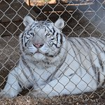 The white tiger through on set of fencing (blur on the right).