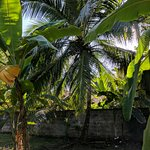 I picked a king coconut from this tree, drank the juice and ate the meat!!!! :o)