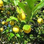 Zitronenhain