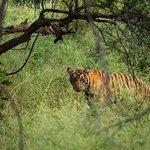 tiger tiger!