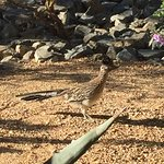 A roadrunner ran right by back patio