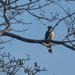 Harpy eagle! - So excited I got to see one while at Sani Lodge