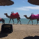 Random camels along the beach