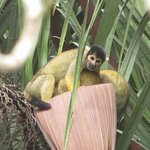 Look at the cute little smiling face on this squirrel monkey!
