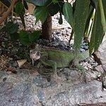 A local green iguana keeps watch