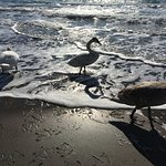swans at Curium beach,what is the odds?