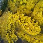 Mimosa de Nice