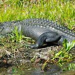 Local Gator who lives downstream - view from boat tour
