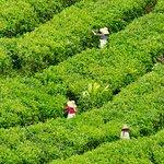 """Tea Fields """"BOH"""""""