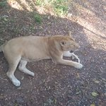 The Lioness we saw on the way